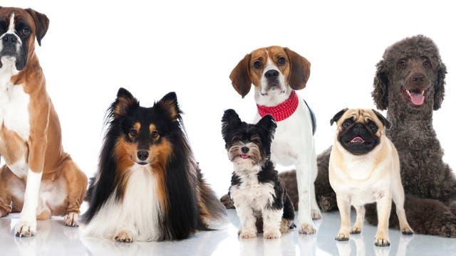 9 Haushund - Begleiter seit Jahrtausenden
