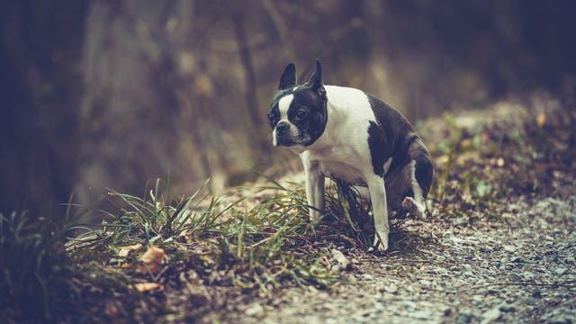 Hund bei der Verrichtung seines Geschäfts