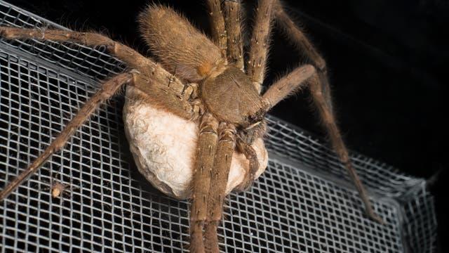 Riesenkrabbenspinnen leben unter anderem in Australien und können sehr groß werden