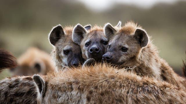 Hyänen sind sehr soziale Tiere