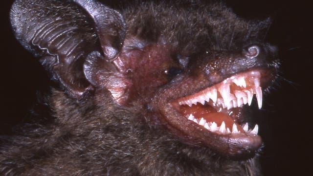 Die Langzahnzwergfledermaus wurde zwar schon 1997 entdeckt, aber mit einer anderen Art verwechselt. Erst 2014 beschrieben Biologen sie als eigenständige Spezies.