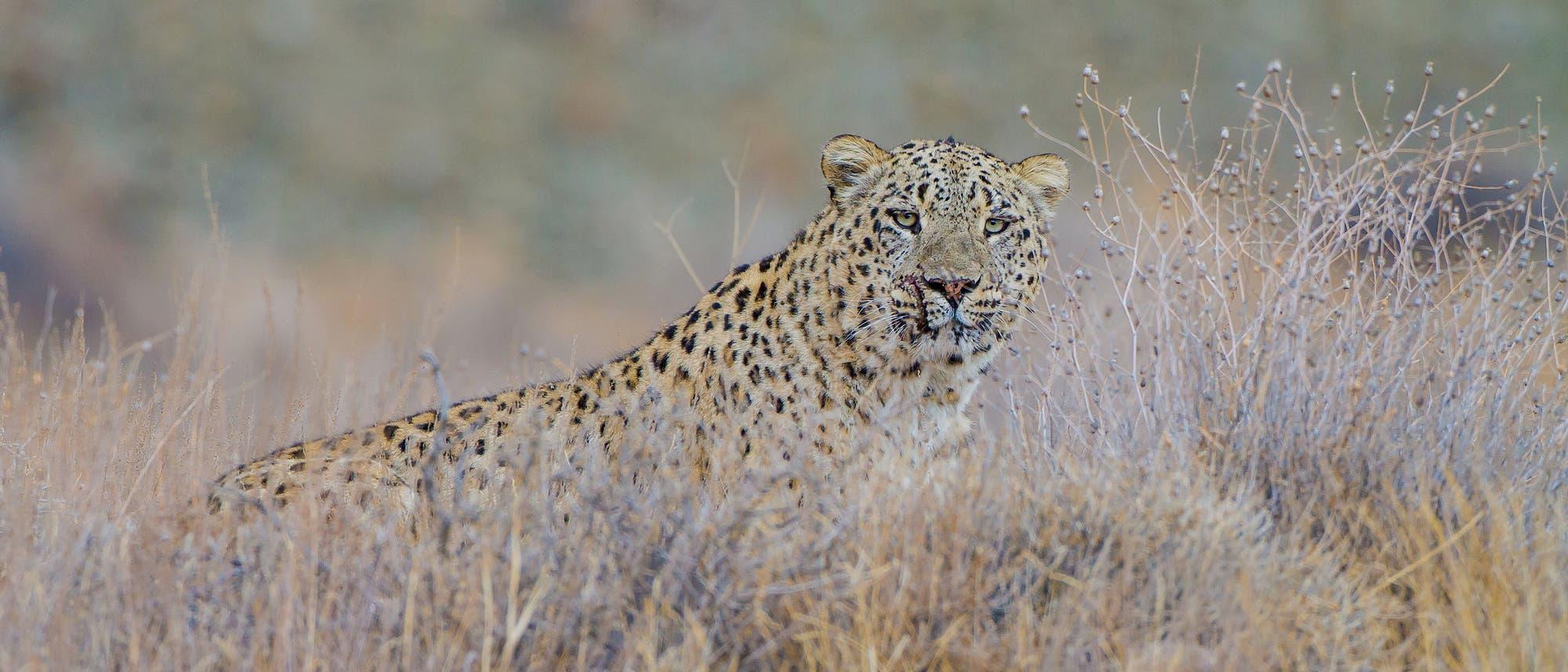 Ein männlicher Persischer Leopard