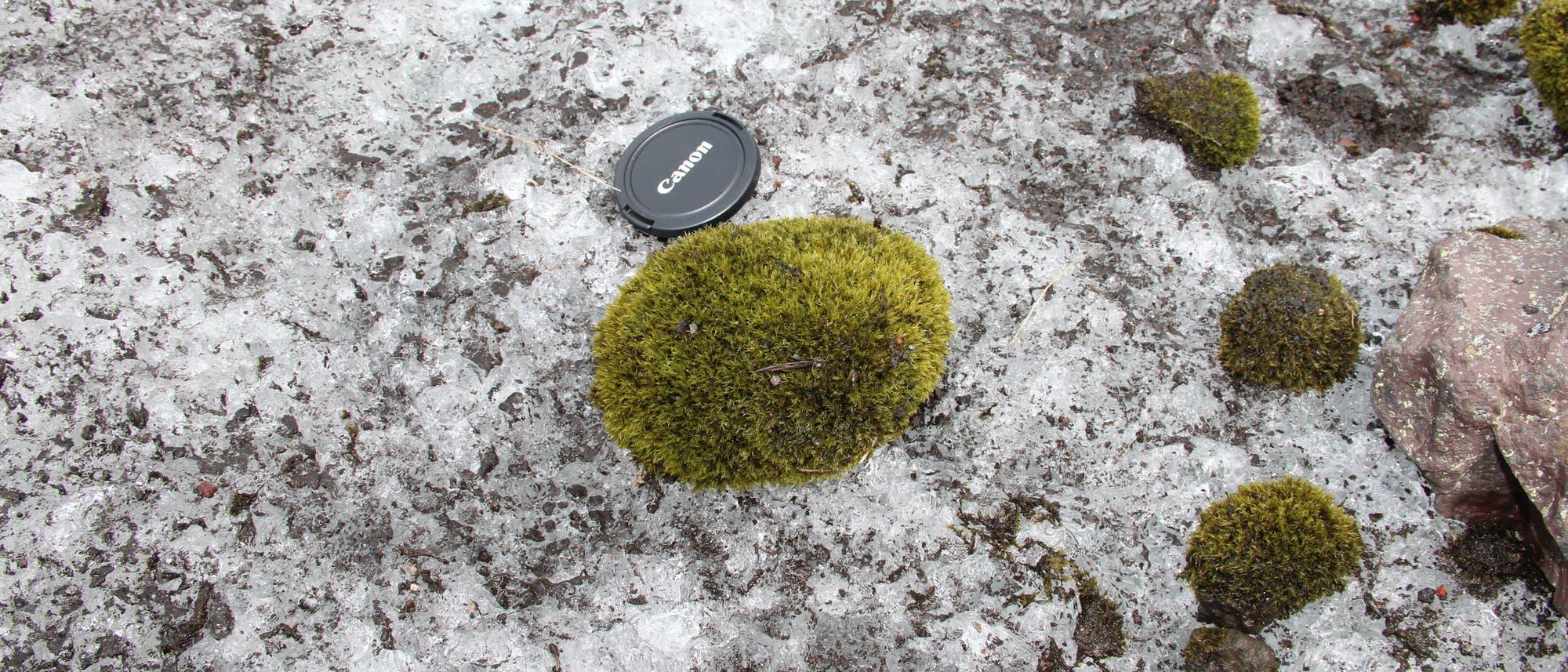 Moosbälle auf einer Eisoberfläche, Kameradeckel als Größenvergleich.