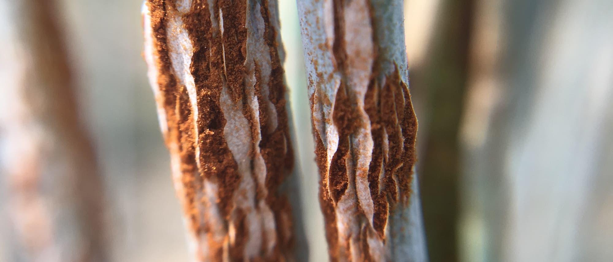 Diese Roggenpflanze ist von Schwarzrostpilzen befallen.