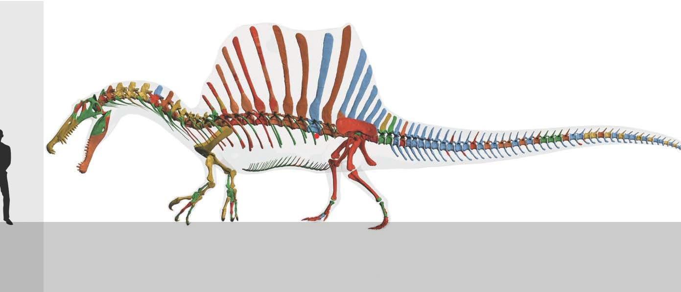 Spinosaurus aegyptiacus und Mensch
