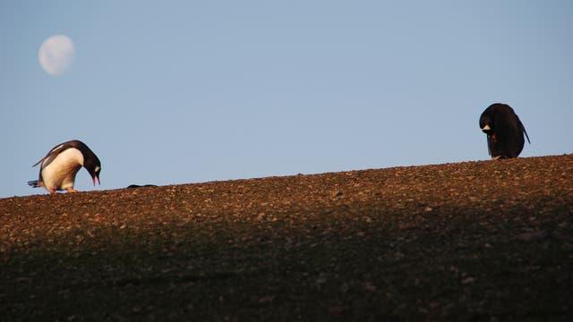 Eselspinguine auf Ardley