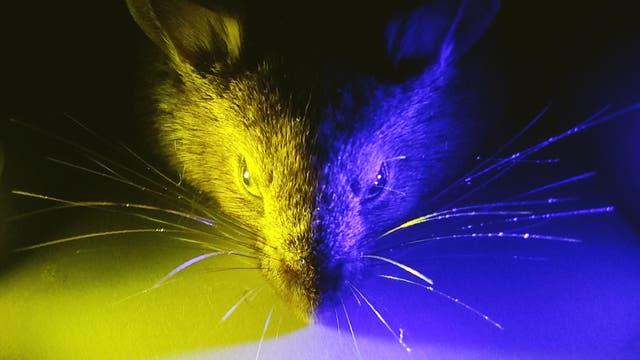 Eine Versuchsmaus wird gelb-blau beleuchtet
