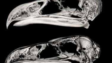 Schädelknochen vom Haast-Adler