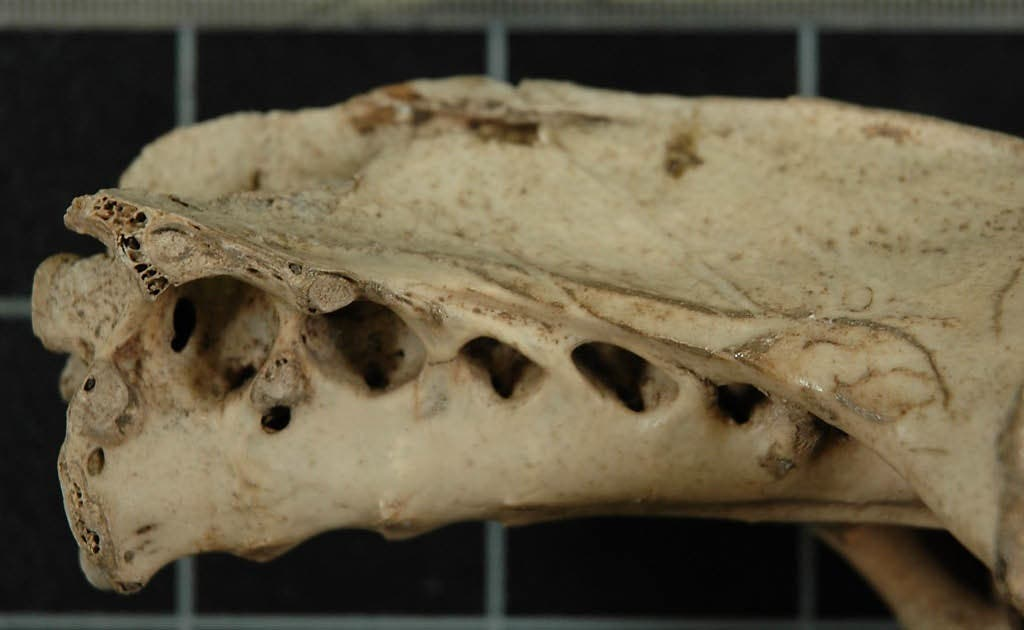 Hüftknochen eines Haast-Adlers