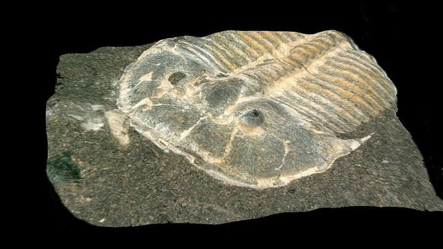 Trilobit der Art Aulacopleura koninckii. Das Fossil des Gliederfüßers ist 429 Millionen Jahre alt.