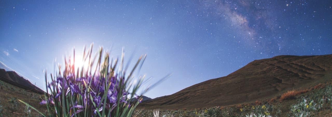 Iris im Mondlicht