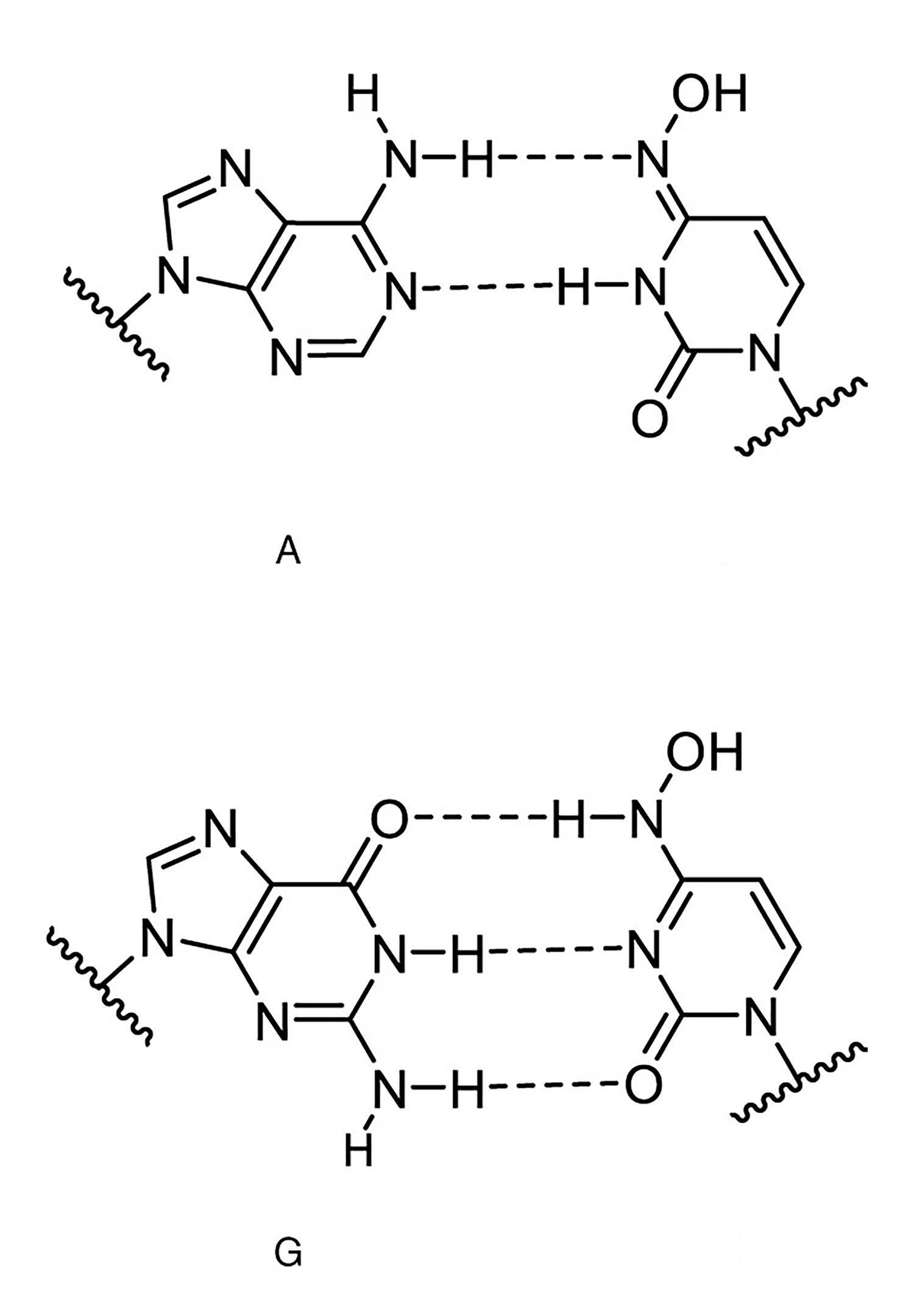 Die zwei Strukturen des NHC mit ihren jeweiligen Bindungen an Adenosin und Guanosin