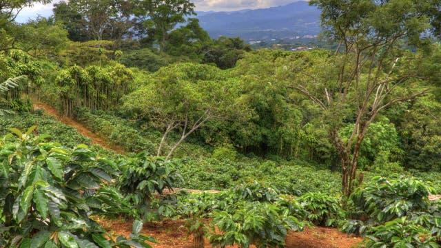 Kaffeeanbau im Regenwald