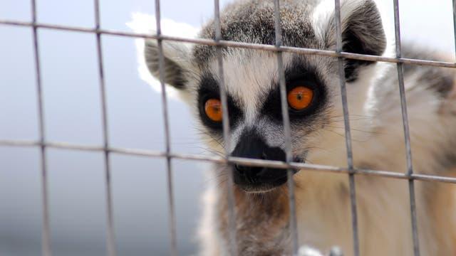 Auch die possierlichen Kattas aus Madagaskar werden gehandelt