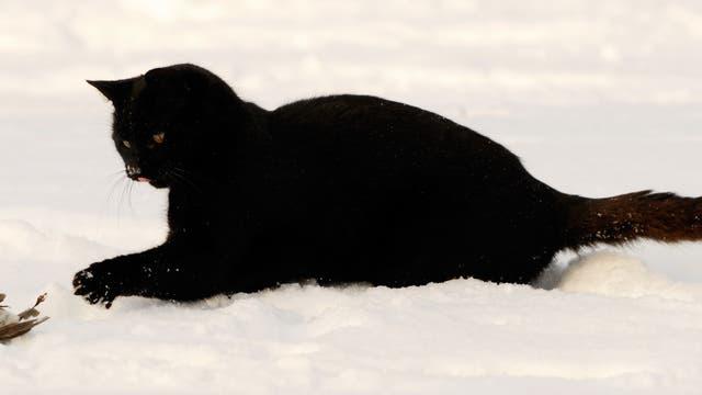 Katze mit erlegtem Rotkehlchen im Schnee