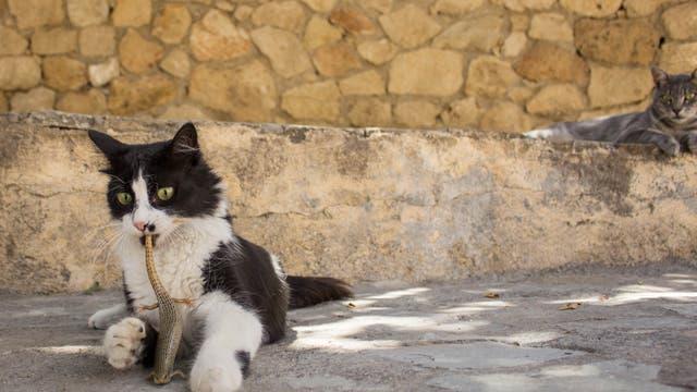 Katze mit Eidechse