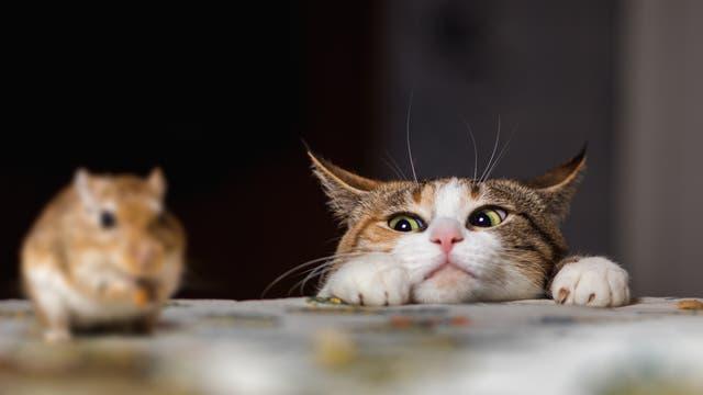 Katze jagt Maus