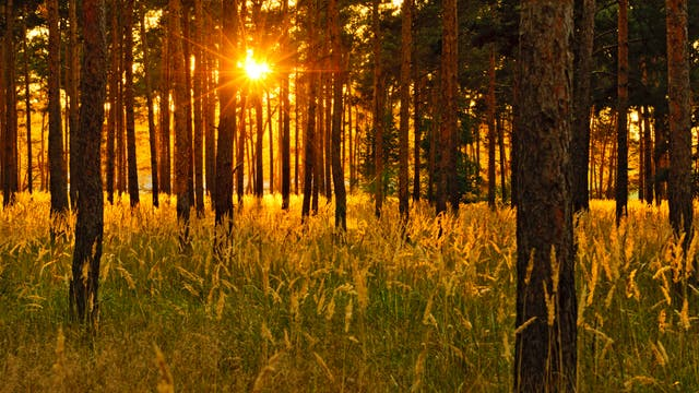 Kiefernwald im Abendlicht