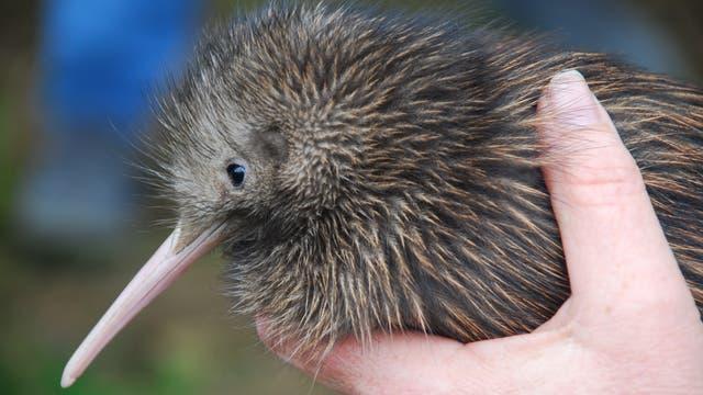 Kiwi in der Hand eines Forschers