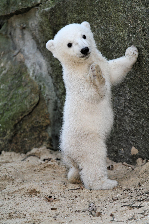 Der noch kleine Knut