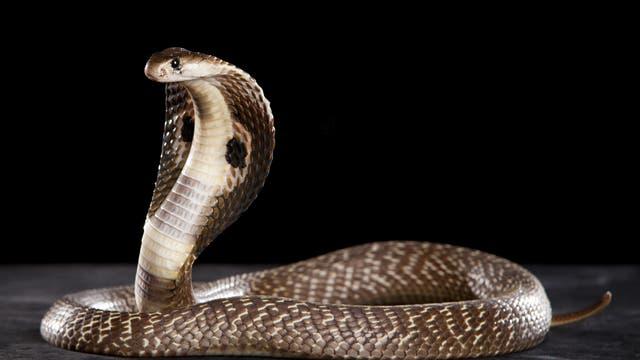 Giftige Kobra
