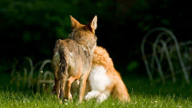 Kojote mit erbeuteter Katze