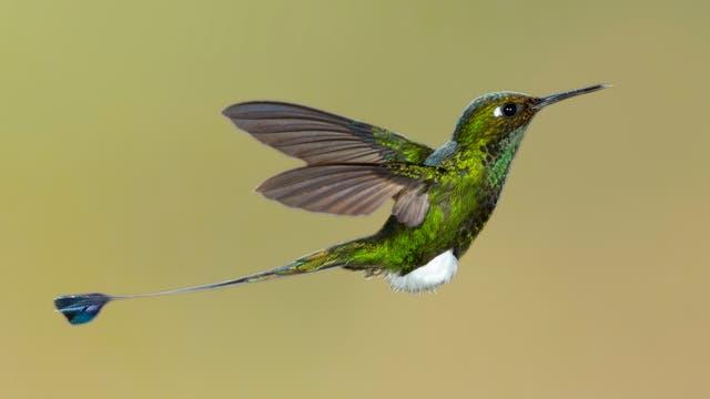 Die Flaggensylphe ist eine Kolibriart aus den Anden