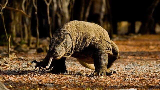 3. Komodowaran - der Drache mit dem üblen Biss