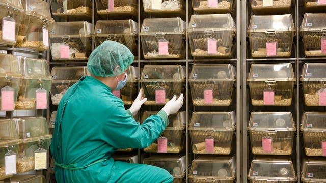 Ein Forscher in Sicherheitskleidung kümmert sich um einen von vielen Käfigen mit Labortieren.