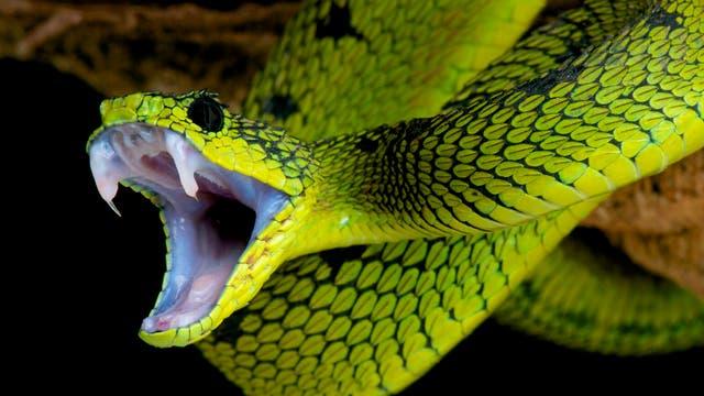 Lanzenotter zeigt ihre Giftzähne