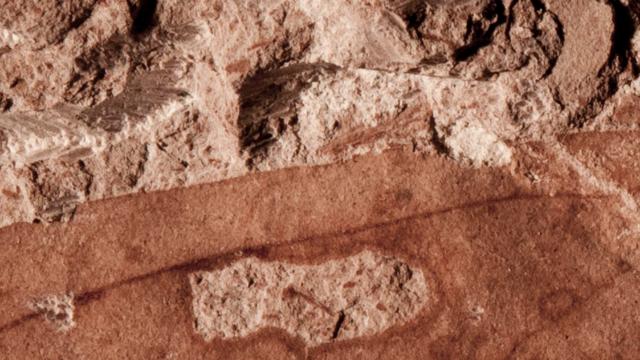 Ein fosstiles braunes Blatt mit Fraßloch in hellem Gestein