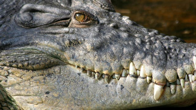 Heute gelten Leistenkrokodil aus Südostasien und Australien als die stärksten Krokodile. Gegen Purussaurus brasiliensis hätten sie keine Chance gehabt.