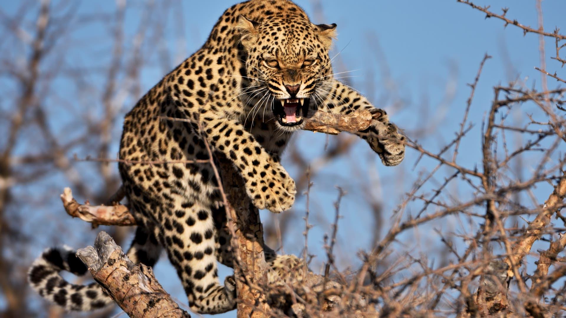Fauchender Leopard in einem Baum (Symbolbild)