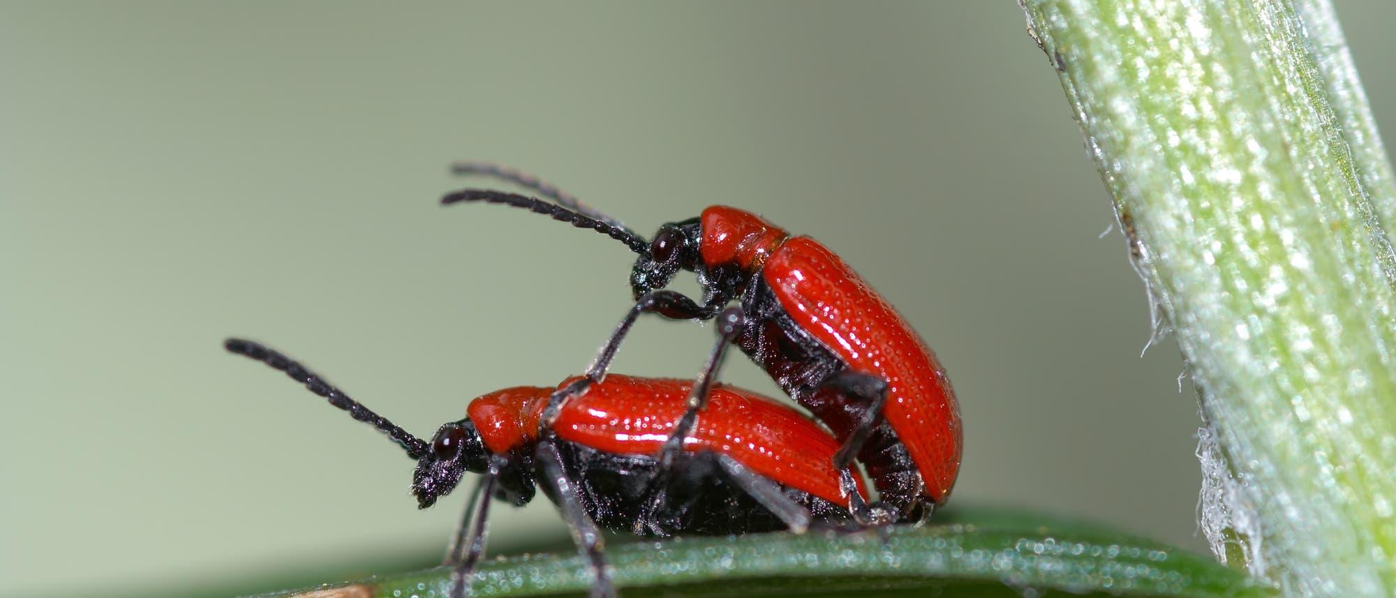Zwei Käfer im Akt der Fortpflanzung
