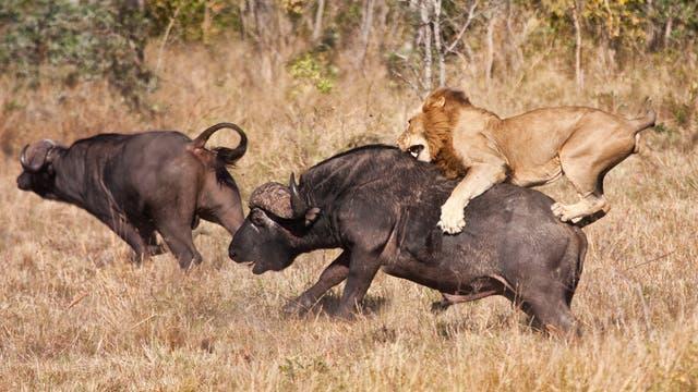 Löwe bei der Jagd auf Afrikanische Büffel