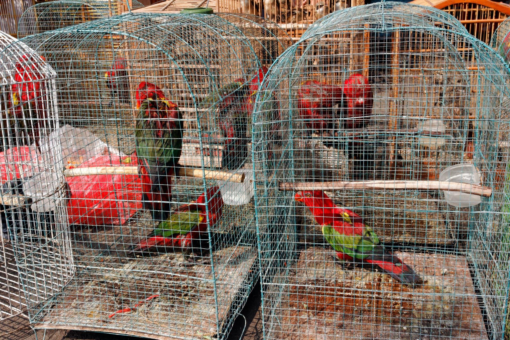 Bei diesen Papageien auf einem indonesischen Vogelmarkt handelt es sich um geschützte Arten, ihr Verkauf ist verboten. Aber nur in der Theorie: Der Handel wird nicht geahndet.