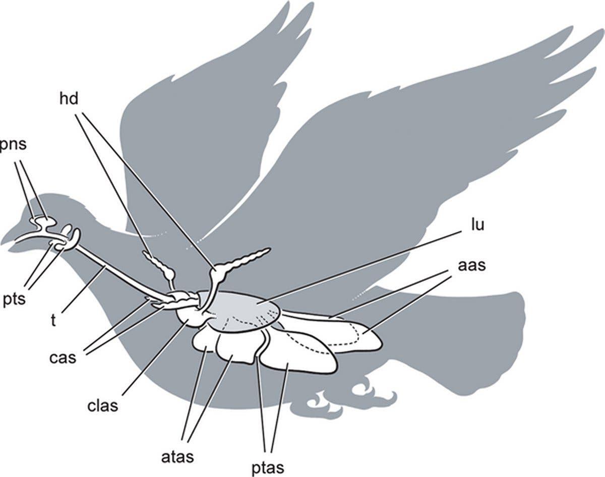 Luftsäcke beim heutigen Vogel