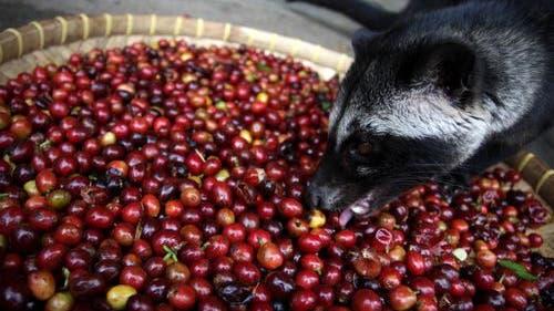 Fleckenmusang frisst Kaffeekirschen