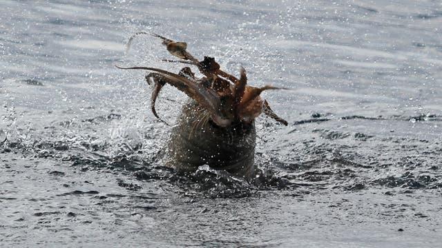 Mönchsrobbe im Clinch mit Oktopus