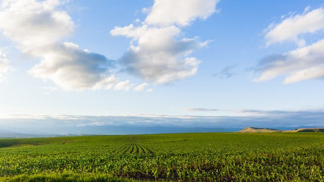 Maisfeld in Afrika
