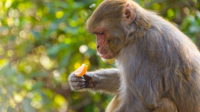 Makake mit Orange