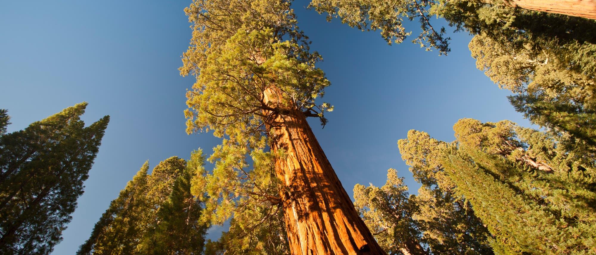 General Grant Grove - ein Hain aus Riesenmammutbäumen in Kalifornien