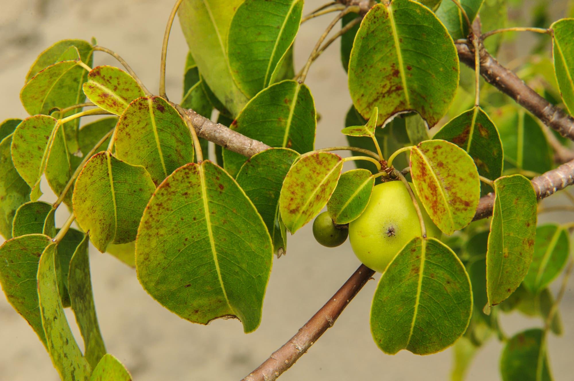 Manchinelbaum – Äpfelchen des Todes