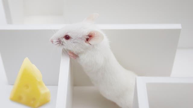 Maus mit Käse im Labyrinth