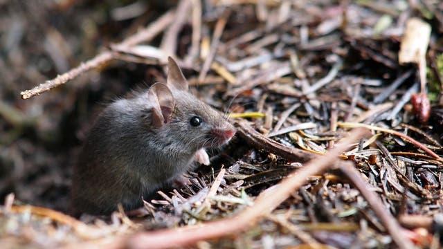 Maus schaut aufmerksam
