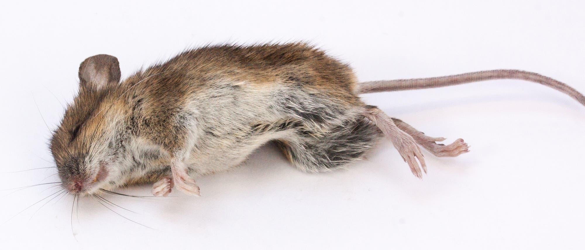 Maus schläft Rausch aus