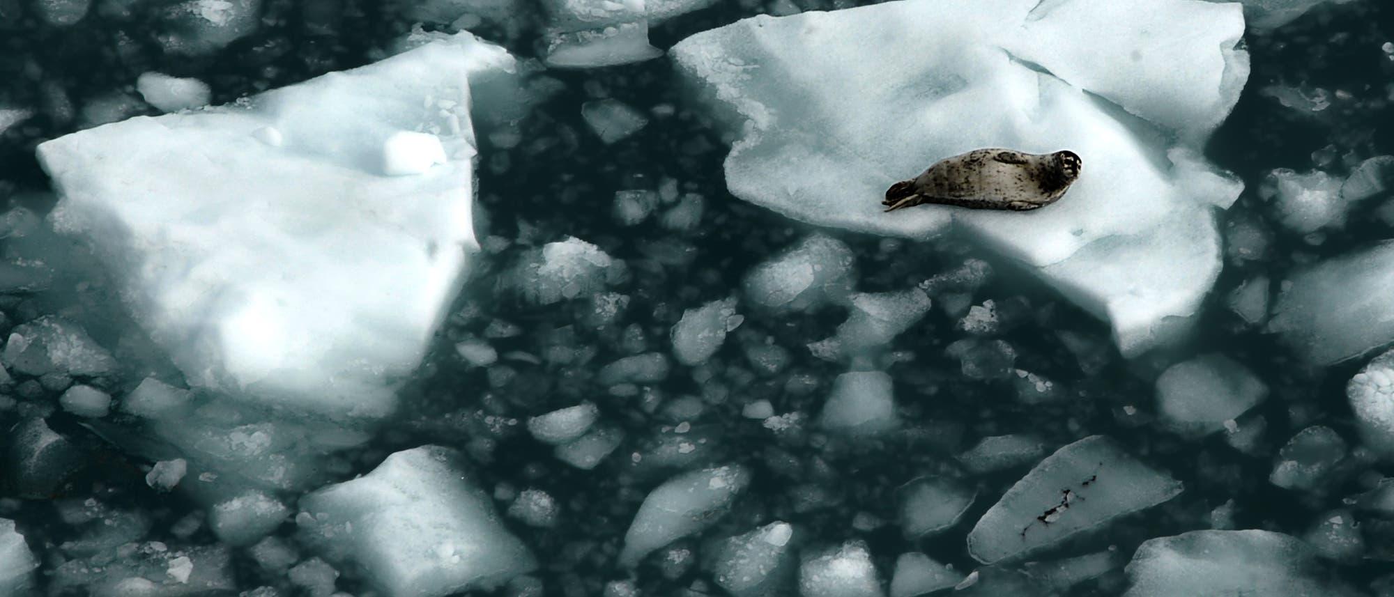 Eine Sattelrobbe ruhtr auf einer Eisscholle in Alaska