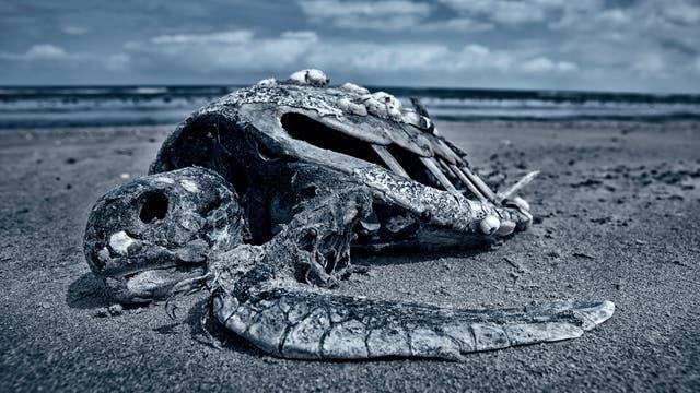 Tote Meeresschildkröte als Symbol sterbender Ozeane