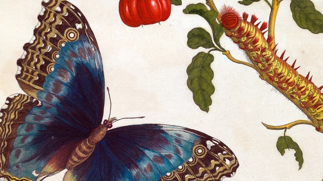 """Schmetterling aus den """"Metamorphosen"""""""