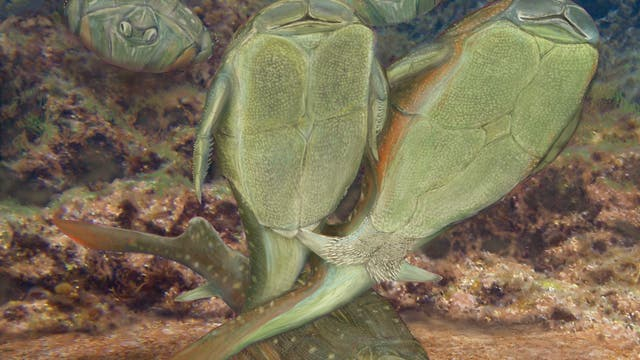 Microbrachius dicki bei der Paarung